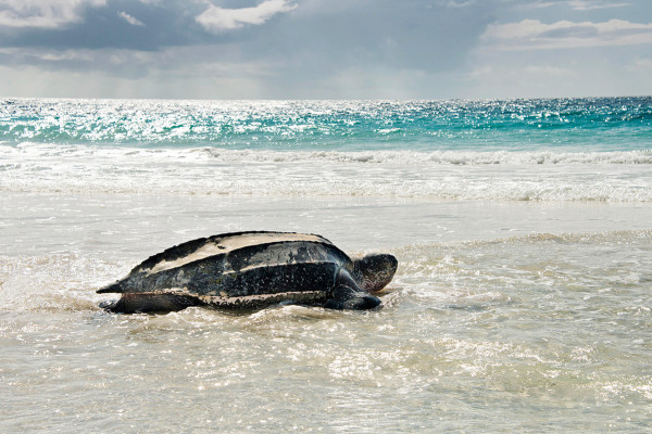 LAYING LEATHERBACK